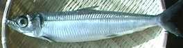 Urume-iwashi